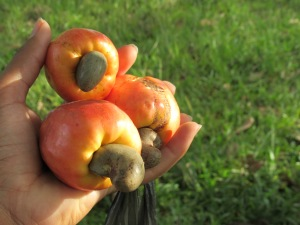 Cashew fruit. Did you know the cashew nut hangs outside of a false
