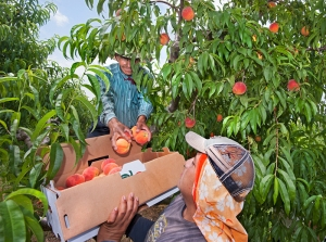 (7/14/14) - (Quicksburg) ----- Turkey Knob Grower's employees Jabet Rivera, (top) and Luis Cepeda, harvest peaches at an orchard near Quicksburg, Va. in Shenandoah County Monday July 14, 2014. A late frost in May has reduced yeilds at some area orchards in the Shenandaoh Valley but spared the blooms at Turkey Knob. ({Michael Reilly/Daily News-Record})